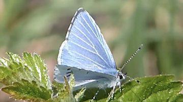 Het boomblauwtje | Vlinderrubriek met Hans