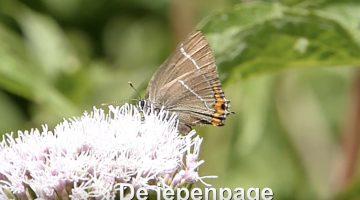 De iepenpage/ Satyrium w – album | Vlinderrubriek met Hans Melters